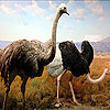 Ostriches Slide Puzzle Game Online