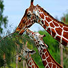 Three Hungry Giraffe Slide Puzzle Game Online