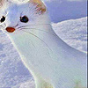 White Weasel Slide Puzzle Game Online